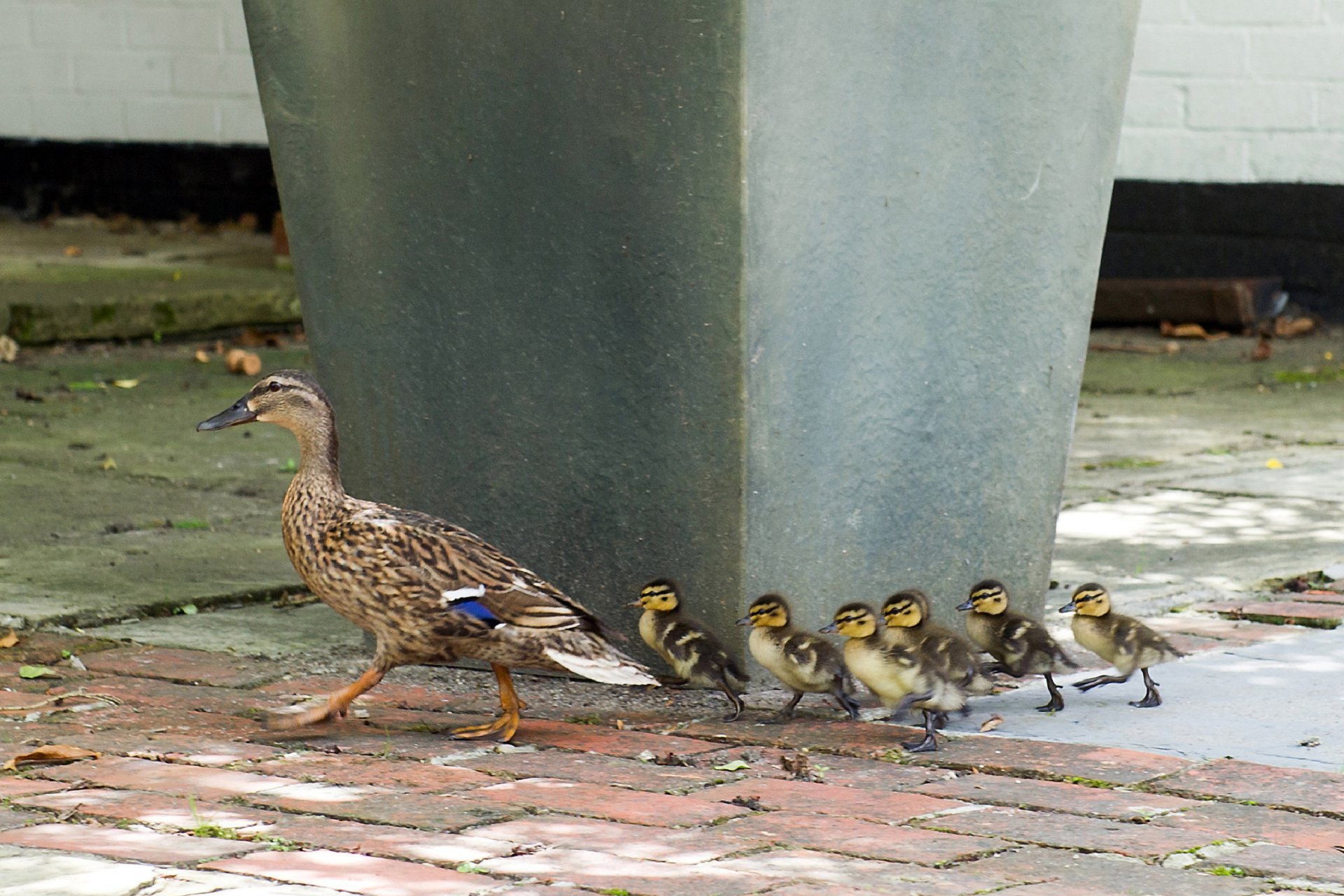 The ducks at Ghyll Manor near Horsham in West Sussex make an impromptu visit to this wedding reception