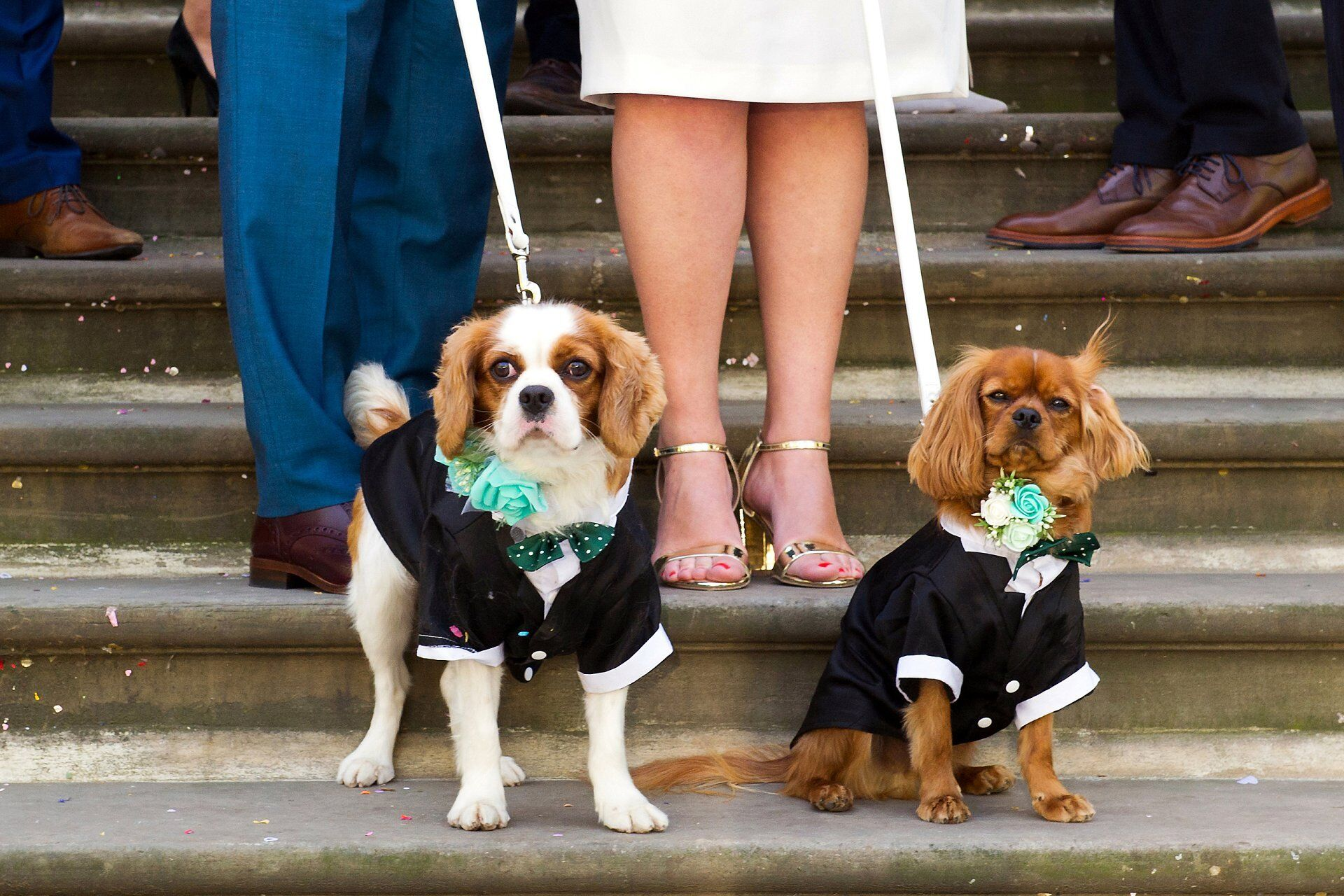 old marylebone town hall wedding photographer emma duggan loves weddings and dogs especially these two adorable cavalier king charles spaniel puppies (marylebone room wedding photography)